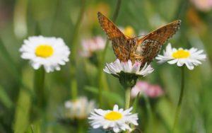 Un papillon sur une paquerette